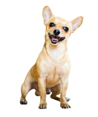 moscovian: Sitting Russian Toy Terrier. Isolated on  white  background Stock Photo