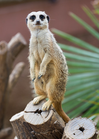 undomestic: meerkat or suricate (Suricata suricatta) on tree Stock Photo
