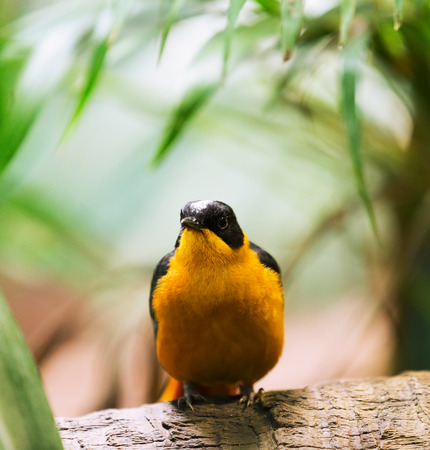 chinensis: black-naped oriole (Oriolus chinensis) in forest