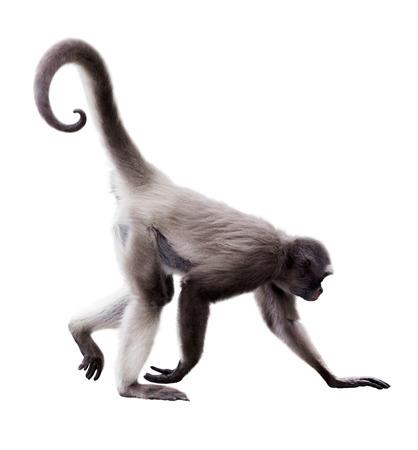 긴 머리 거미 원숭이 (Ateles의 belzebuth). 흰색 배경 위에 절연