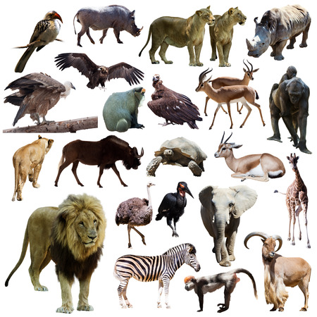 Male lion  and other African animals. Isolated on white background