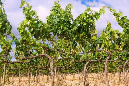 rioja: Vineyards in summer day. La Rioja, Spain Stock Photo