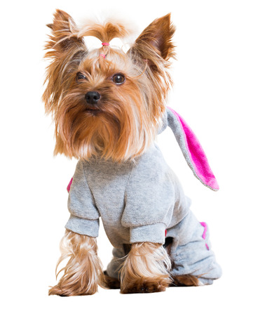 overall: Funny Yorkshire Terrier in overall staying on white background Stock Photo