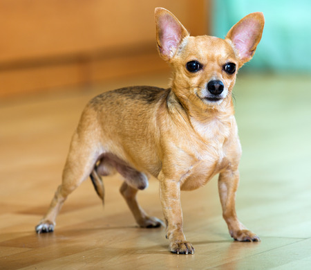 moscovian: Moscow Toy Terrier standing on  parquet floor at home