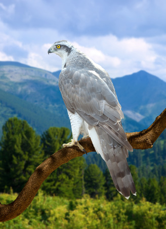 wildness: Goshawk on on wood trunk  against wildness background