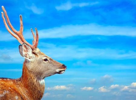 sika deer: Head of Sika deer against sky