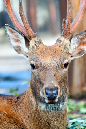sika deer: Head of Sika deer (Cervus nippon) on blur background Stock Photo