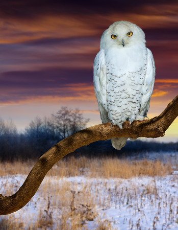 wildness: Sitting snowy owl  at  wildness in sunset time