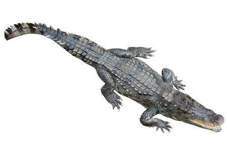 siamensis: Siamese crocodile (Crocodylus siamensis). Isolated over white background