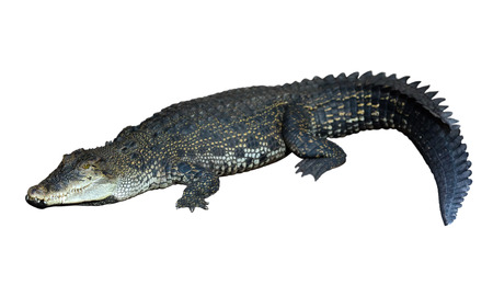 Saltwater crocodile (Crocodylus porosus) . Isolated over white background