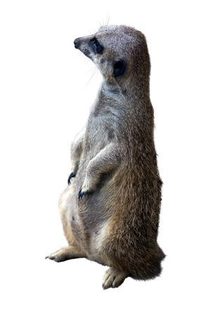 undomestic: suricate (Suricata suricatta). Isolated  over white background