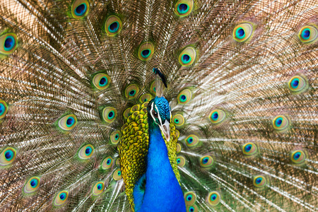 phasianidae: Close up of  Indian Peafowl