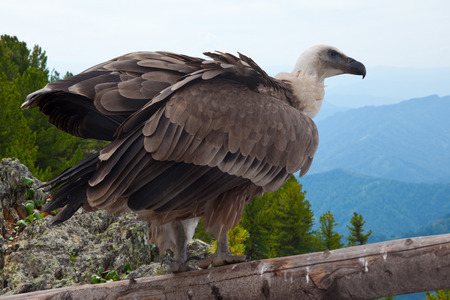 wildness: Griffon vulture (Gyps fulvus)  in wildness area