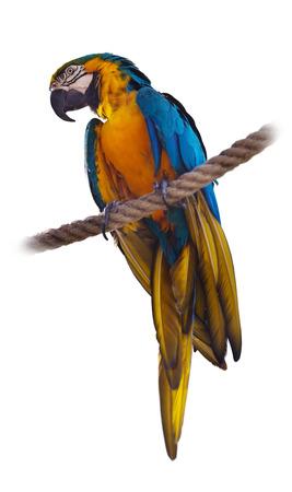 singleness: Blue and yellow Macaw (Ara ararauna), over white