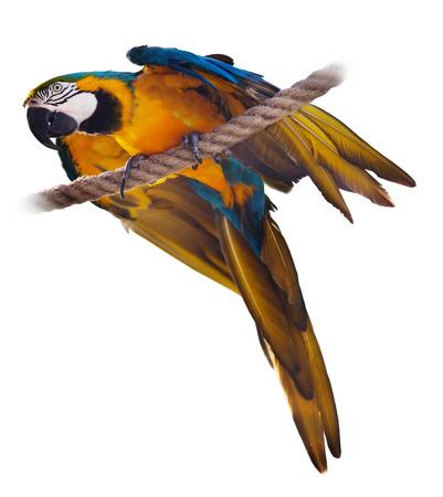 solter�a: Azul y amarillo (Ara ararauna), sobre fondo blanco
