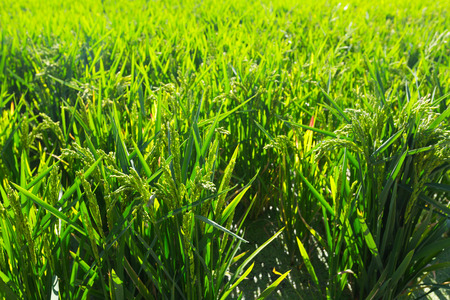 ebre: Rice grows at field  in sunny day Stock Photo
