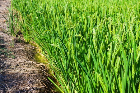 ebre: green ears of rice at field in summer Stock Photo