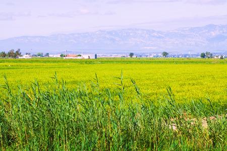 ebre: Rice fields in the Ebro Delta. Spain