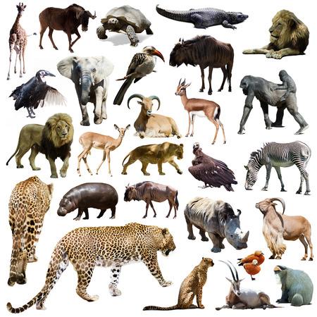 jirafa fondo blanco: Conjunto de leopardo y otros animales africanos. Aislado en blanco