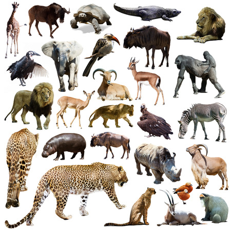animals in the wild: Set of leopard and other African animals. Isolated over white