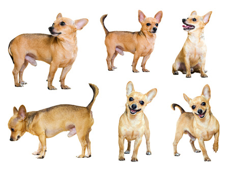 moscovian: Set of  Toy Terriers on white background