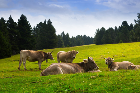 Cows in mountain meadow in summer. Pyrenees, Catalonia photo