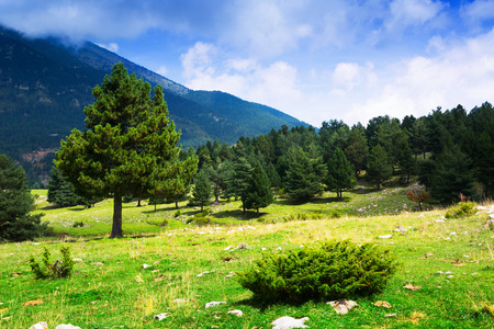 pine trees: pine trees at mountains in summer day. Pyrenees, Catalonia