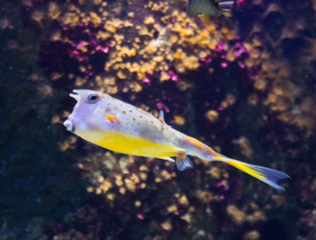 boxfish: yellow boxfish (Ostracion cubicus) in sea water