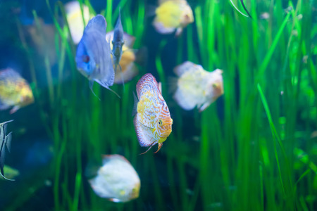 discus: discus fish in  fresh  water