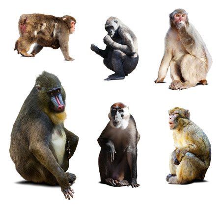 barbary ape: Mandrill and other Old World monkeys. Isolated over white background with shade