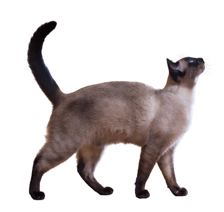 Walking Siamese cat, isolated on white background