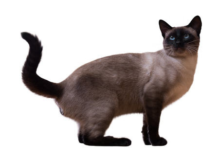 siamese: Siamese cat, isolated on white