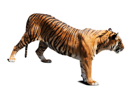 catamountain: tiger. Isolated on white background with shade Stock Photo
