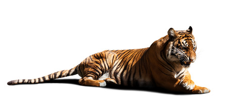 catamountain: tiger. Isolated on white with shade Stock Photo