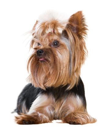 companion: Popular companion dog breed Yorkshire Terrier. Isolated over white background