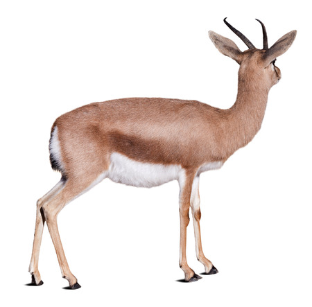 gazelle: Dorcas gazelle (Gazella dorcas) over white background
