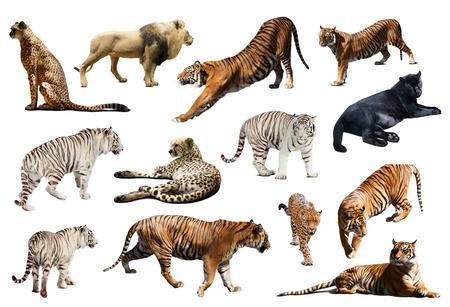 tigre blanc: Ensemble de tigre et autres grands chats sauvages. Isol� sur blanc