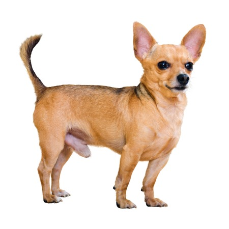 moscovian: Moscow Toy Terrier. Isolated over white background Stock Photo