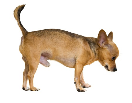 Russkiy Toy (Moscow Toy Terrier). Isolated on white photo