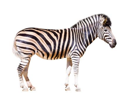 zebra: full length of zebra . Isolated over white background