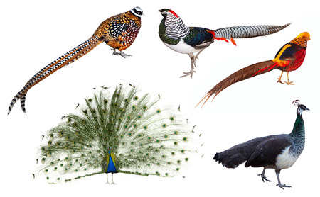 indian peafowl: Set of male indian Peafowl and  pheasant  birds. Isolated over white background Stock Photo