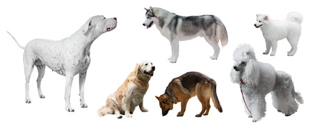 argentino: Set of Dogo Argentino and other dogs. Isolated on white background Stock Photo