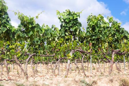 rioja: Vineyards in summer day. La Rioja