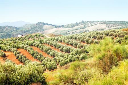 �rbol olivo: Paisaje de oto�o europeo con plantas Aceitunas