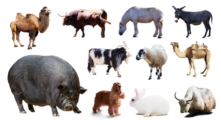 billy goat: Black pig  and other farm animals. Isolated over white background with shade Stock Photo