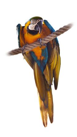 solter�a: Guacamayo azul y amarillo sobre fondo blanco