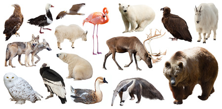 north american: Set of bear and other North American animals. Isolated on white background