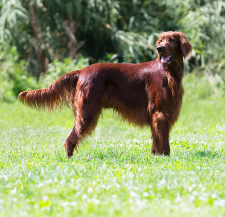 setter: Irish Setter standing on green grass at park