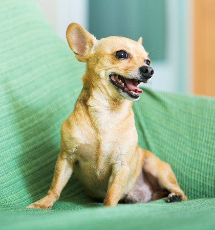 moscovian: Moscow Toy Terrier resting  at home