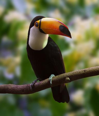 solter�a: Toco Toucan (Ramphastos toco) sobre fondo de naturaleza